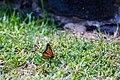 Monarch (30587020681).jpg