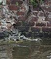 Monitor lizards (12648371915).jpg