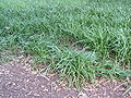 Monkey grass.jpg