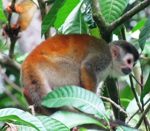 Mono Titi uno de los monos más pequeños del mundo