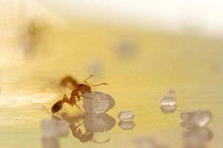 Mravec faraónsky s kryštálikom cukru