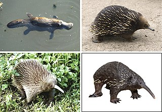 Monotreme Order of egg-laying mammals
