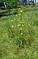 Moraea ramosissima plant.jpg