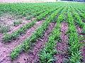 Morku laukas 2006-08-05.jpg