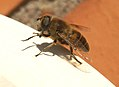 Mosca zangano libando - Dronefly - Eristalis tenax (318639030).jpg