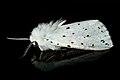 Moth 01 (MK).jpg