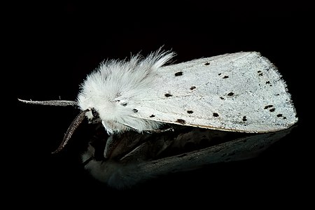 a male White Ermine (Spilosoma lubricipeda) The White Ermine (Spilosoma lubricipeda) is a moth of the family Arctiidae. It is found in Europe.