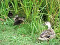 Mother Mallard and her ducklings - geograph.org.uk - 1428034.jpg