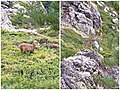 Mouflon corsica carrozzu.jpg