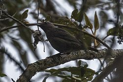 Mountain Robin - Central Highlands - Costa Rica MG 6385 (26103585153).jpg