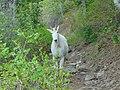 Mountain goat approaching on Timpanooke Trail, Jun 16.jpg