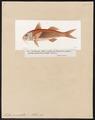 Mullus surmuletus - 1817-1841 - Print - Iconographia Zoologica - Special Collections University of Amsterdam - UBA01 IZ13000311.tif