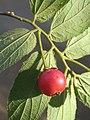 Muntingia calabura - Jamaica Cherry at Nedumpoil (8).jpg