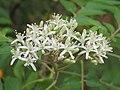Murraya koenigii flowers at Peravoor (8).jpg