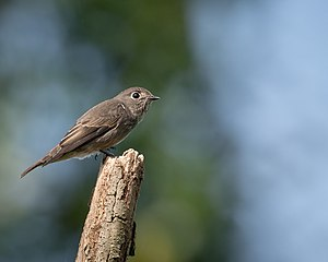 Dark-sided flycatcher - Image: Muscicapa sibirica