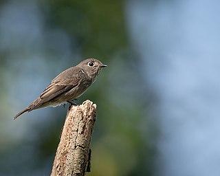 Dark-sided flycatcher species of bird