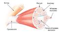Muskelstruktur uk.png