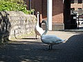 Mute swans guarding a stone bridge in Cardiff.JPG