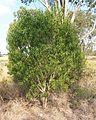 Myoporum montanum habit.jpg