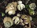 Myriostoma coliforme (Dicks.) Corda 463098.jpg