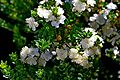 Myrtus communis subsp. tarentina002.JPG