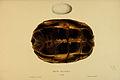 N144 Sowerby & Lear 1872 (glyptemys insculpta).jpg
