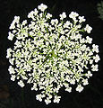 N2 Queen Anne's Lace.jpg