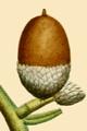 NAS-005f Quercus stellata acorn.png