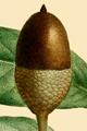 NAS-012f Quercus virginiana acorn.png