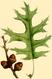 NAS-025g Quercus coccinea.png