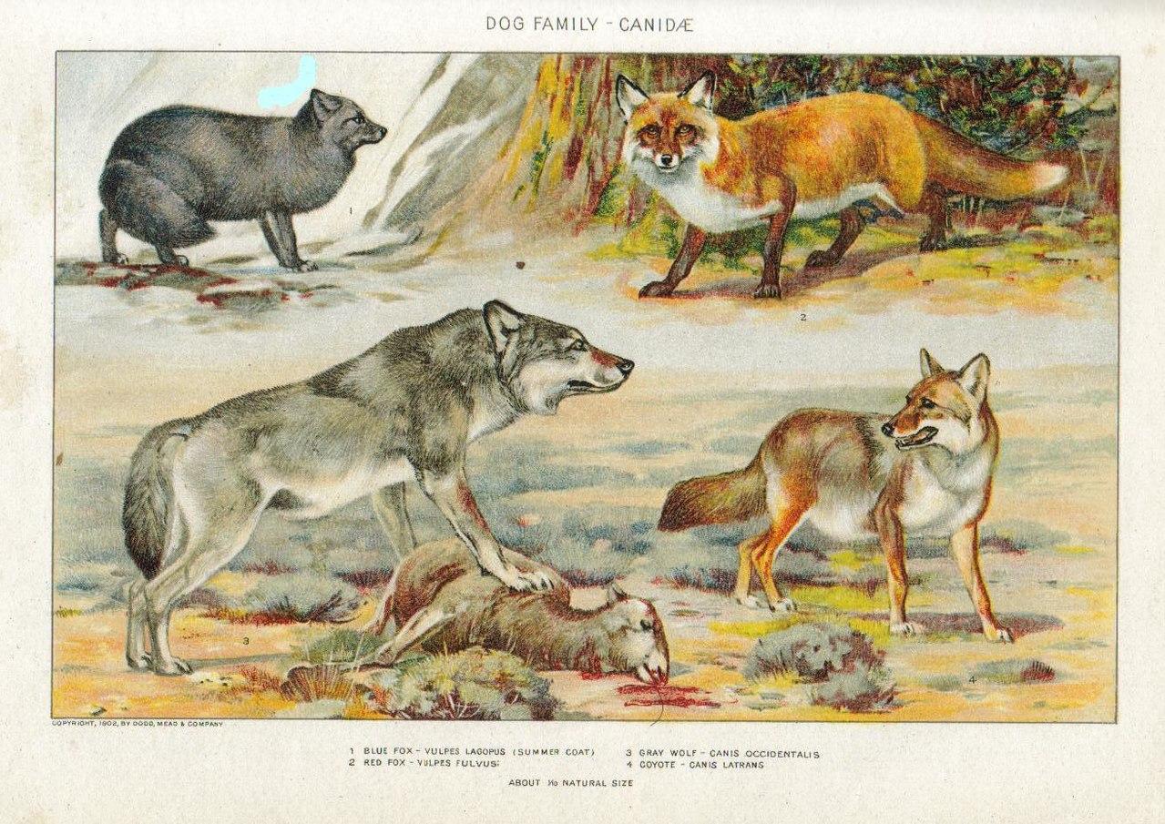 1 — песец, 2 — обыкновенная лисица, 3 — волк, 4 — койот