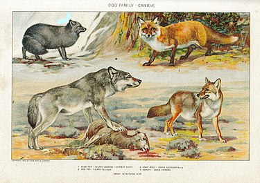 1— песец, 2— обыкновенная лисица, 3— волк, 4— койот