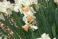 Narcissus Bright Star 0zz.jpg