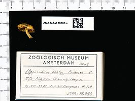 Naturalis Biodiversity Center - ZMA.MAM.18380.a lat - Hipposideros beatus - skull.jpeg
