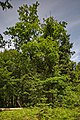 Naturdenkmal Alte Eiche, Kennung 82350800006, Wildberg, von Süden.jpg