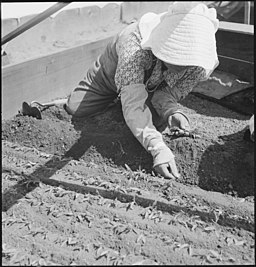 Near Centerville, California. This farm woman of Japanese ancestry is transplanting tomato plants i . . . - NARA - 537667