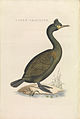 Nederlandsche vogelen (KB) - Phalacrocorax aristotelis (462b).jpg