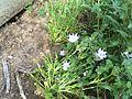 Nemophila maculata, Fivespot.jpg