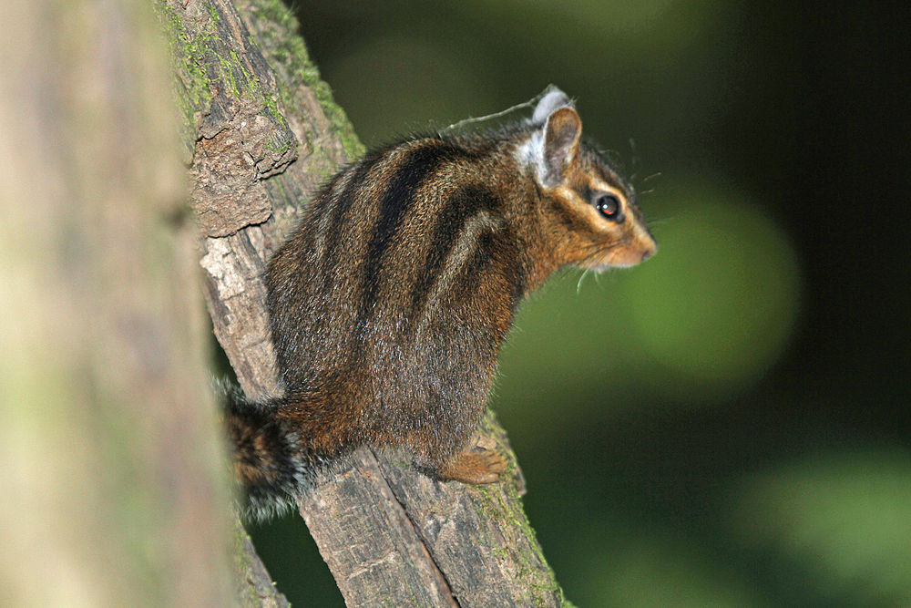The average litter size of a Allen's chipmunk is 4
