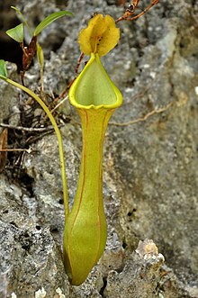 Nepenthes viridis intermediate pitcher.jpg