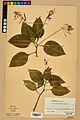 Neuchâtel Herbarium - Impatiens balfourii - NEU000019922.jpg