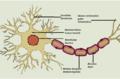Neurono sandara.png