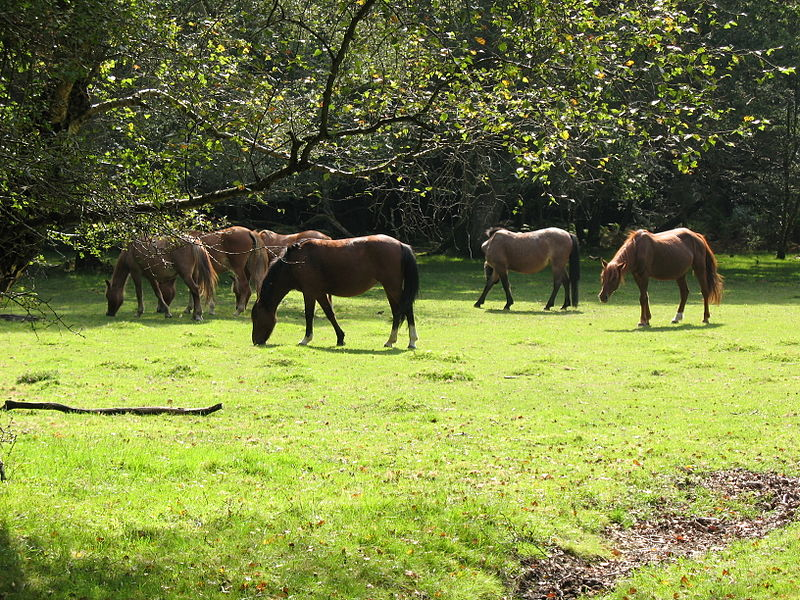 File:New Forest ponies.jpg