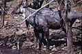 Nilgai (Boselaphus tragocamelus) bull (20347969435).jpg