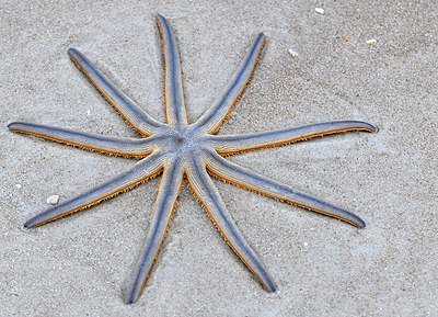 Nine-armed Sea Star (Luidia senegalensis) (4338628827).jpg