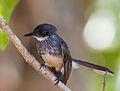 Northern Fantail (Rhipidura rufiventris).03.jpg