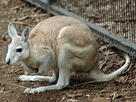 Northern Nail-tail Wallaby Featherdale 1.jpg