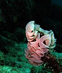 Nudibranchs eggs.jpg