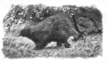 Nusbaum-Tachyglossus aculeatus.png