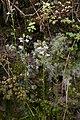 Nuttallanthus canadensis (Plantaginaceae - Scrophulariaceae) (30159265810).jpg